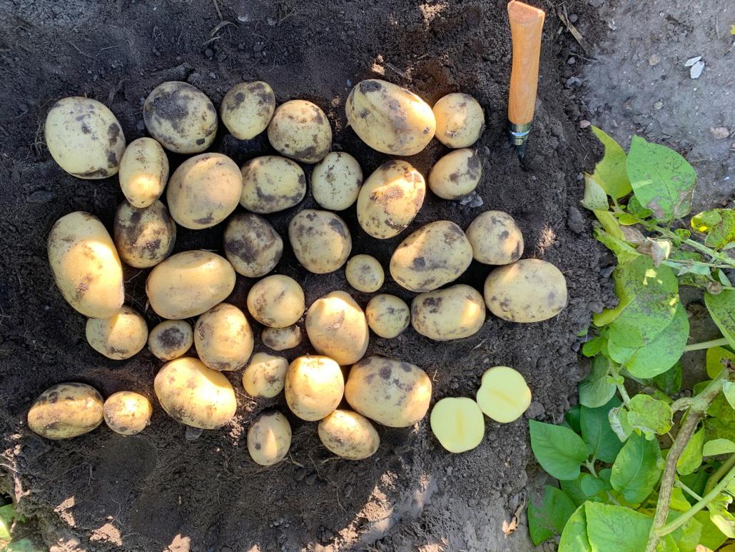Kartoffelsorte Belana