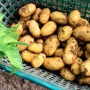 Kartoffeln sind unsere Stärke!