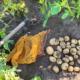 Kartoffelsorte Afra