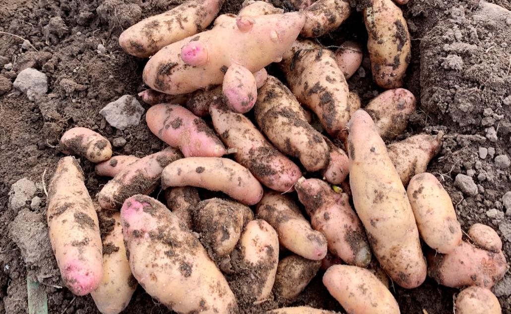 Kartoffelsorte Bamberger Hörnchen
