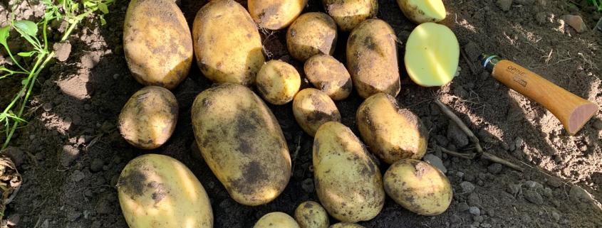 Kartoffelsorte Concordia