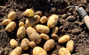 Kartoffelsorte Glorietta