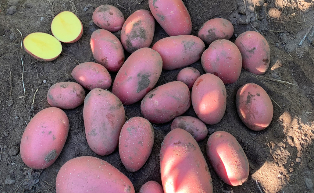 Kartoffelsorte Laura