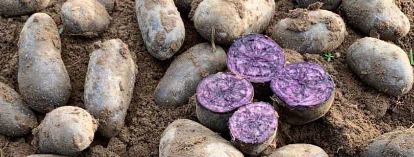 Kartoffelsorte Violetta