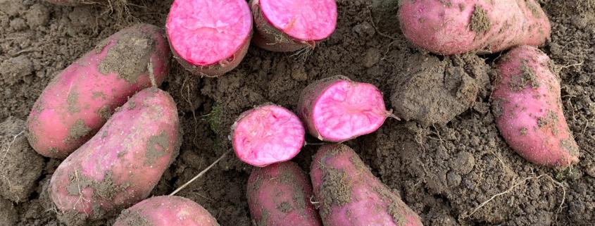 Kartoffelsorte Rote Emmalie