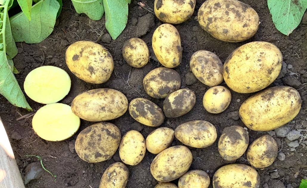 Kartoffelsorte Antonia